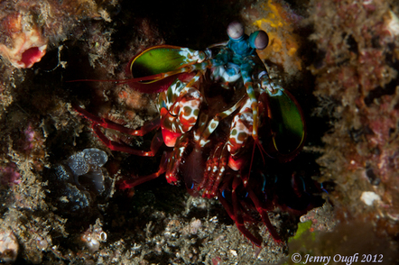 Peacock Mantis Shrimp - Photo by Jenny Ough © 2012