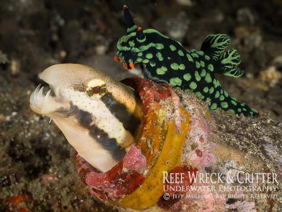 Fang Blenny & Nudibranch - Photo Copyright Jeff Mullins 2012