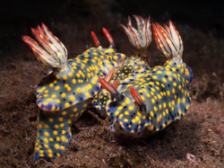 Nudibranchs - Photo Copyright Jeff Mullins 2011