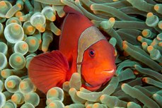 Spine Cheek Anemone Fish - Manado - © Chris Cunnold 2011