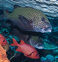Sweetlip Fish - Komodo Live Aboard Trip - Photo by Dave York