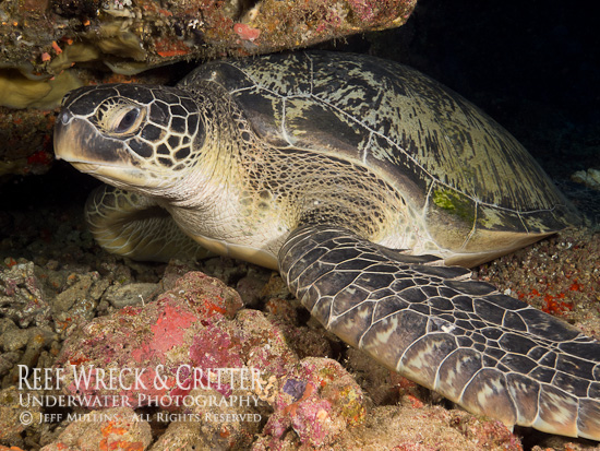 Turtle - Bunaken Island - Photo Copyright Jeff Mullins 2012
