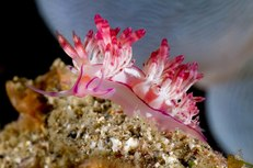 Nudibranch - Photo by Chris Cunnold © 2011